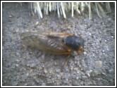 cicada in Suburban Island's driveway